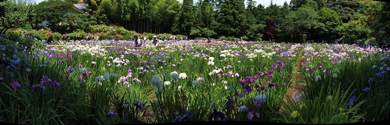 800P6175475 パノラマ写真本土寺花菖蒲