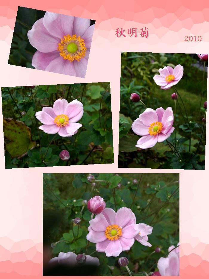 700933ピンク (2)秋明菊