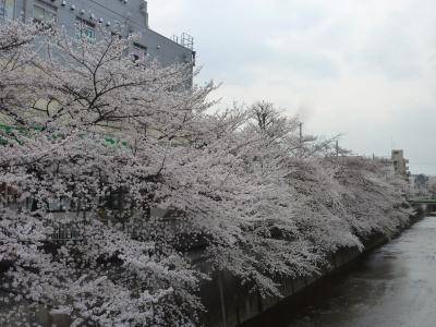 桜2013①