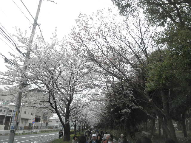 茅ヶ崎中央公園桜並木1