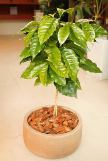 20130417コーヒーの木