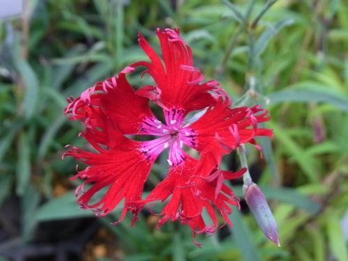 河原なでしこ 赤花