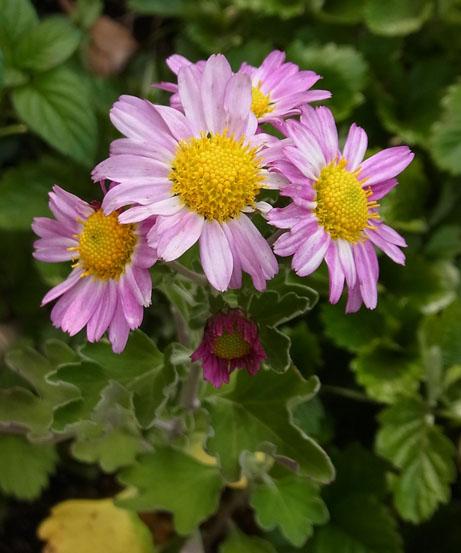 赤花薩摩野菊