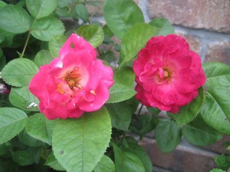 2011春謎の赤つるバラ3