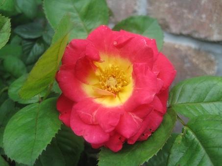 2011春謎の赤つるバラ2