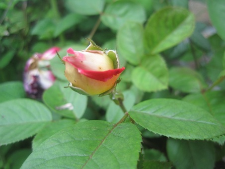 2011春謎の赤つるバラ1