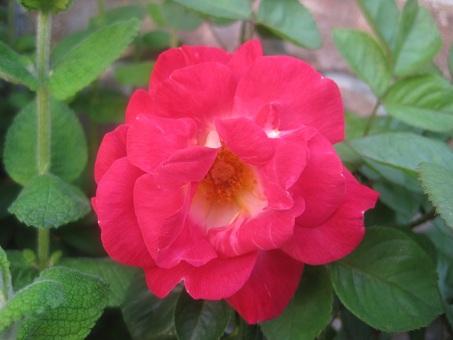 2011春謎の赤つるバラ5