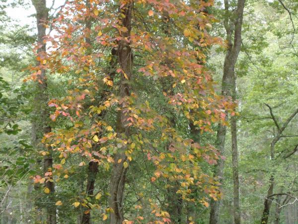 遊歩道の紅葉し始めた木