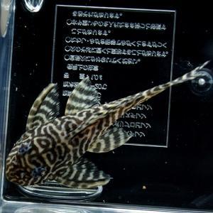 キンペコ10 (2)