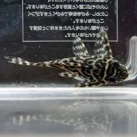 キングタイガー02 (2)