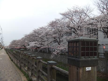 川っぺりの桜並木3