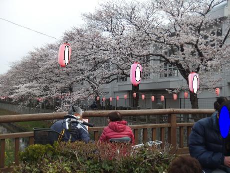 川っぺりの桜並木1