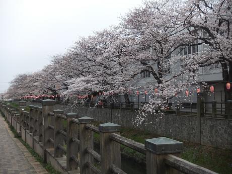 川っぺりの桜並木2
