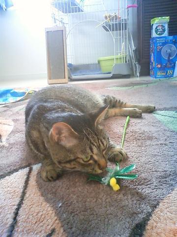 レモンくん おもちゃで遊び中