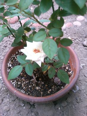 庭のミニバラ