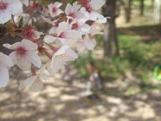 2010年4月 お花見 103