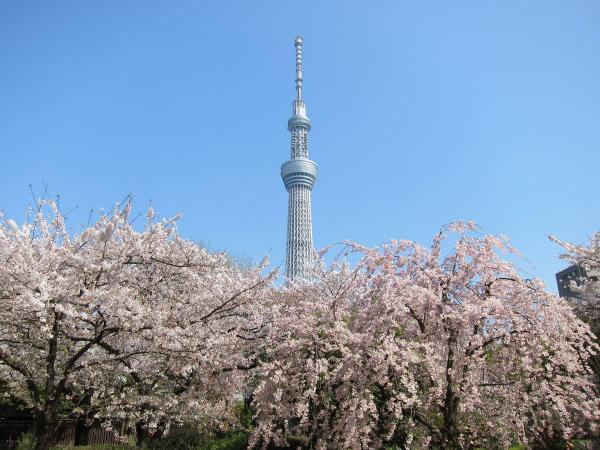 桜と東京スカイツリー1〔フリー写真〕
