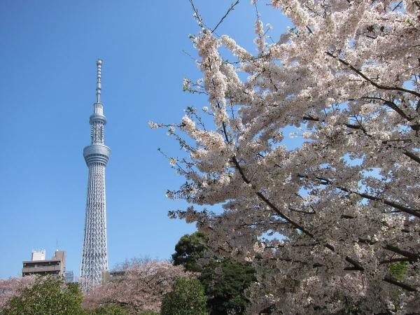 桜と東京スカイツリー3〔フリー写真〕