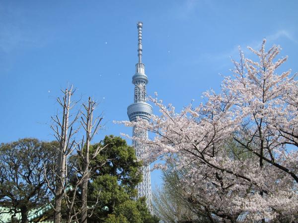 桜と東京スカイツリー4〔フリー写真〕