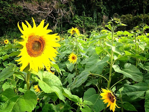 Okinawa sunflower