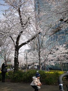 130324_MTの桜とつー