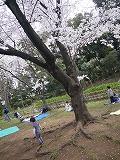 130323_有栖川公園つーくん桜拾い (1)