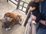 130414_マザー牧場牛さん