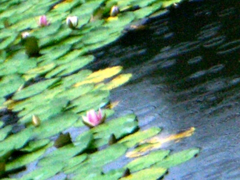 FC鏡容池の睡蓮と雨輪①