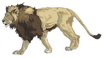 ライオン雄歩き
