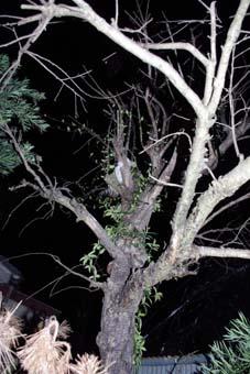 木登りねこ