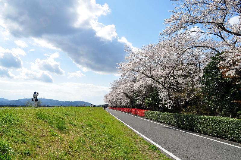 東温市田窪  森の交流センター 桜