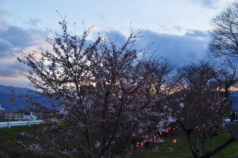 西条市吉田 吉田河原の桜