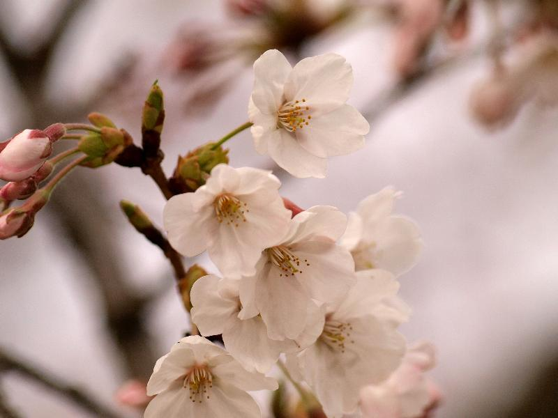 新居浜市 滝宮公園 桜