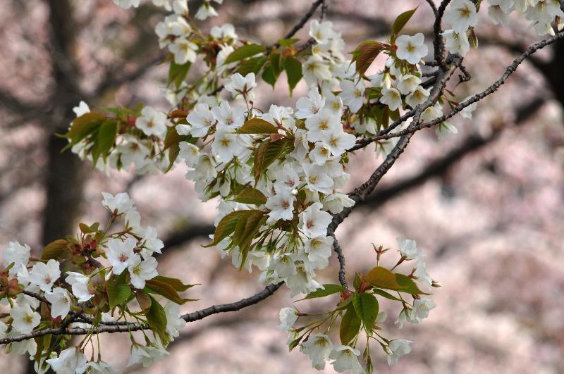西条市小松町 小松中央公園 お花見