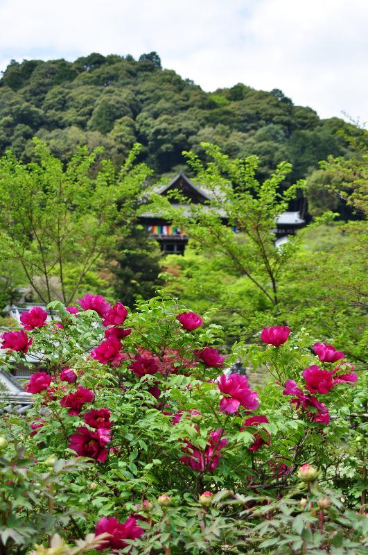 奈良県桜井市 長谷寺 牡丹