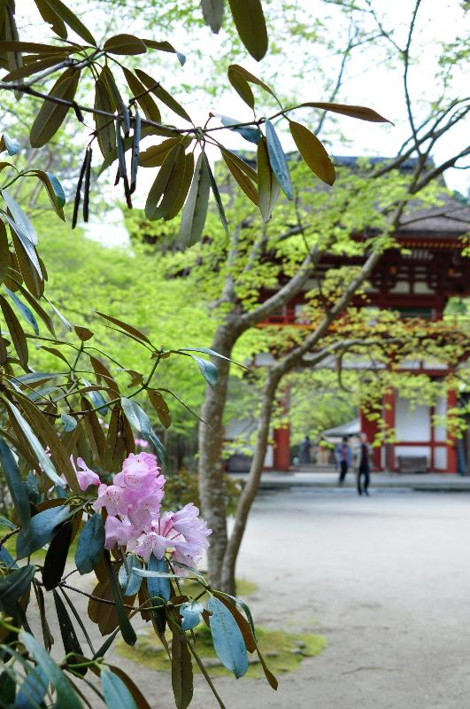 奈良県 室生寺 石楠花