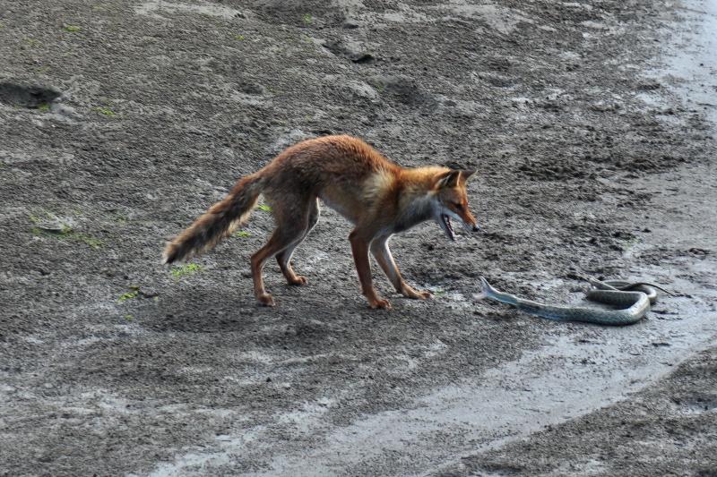 西条市 中山川 狐とへび