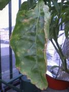 病気のピーマンの葉