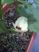 オクラ・ベターファイブの花