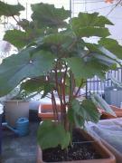 後から植えたオクラ・ベニー