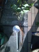 サラダむすめ初収穫