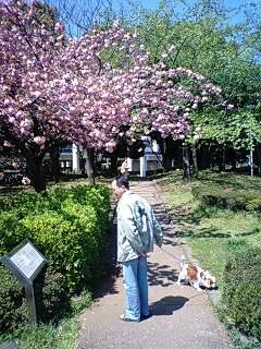 八重桜のした