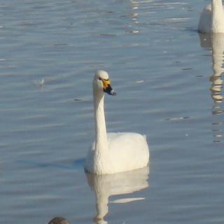 1羽の白鳥