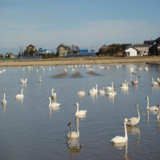 白鳥たくさん