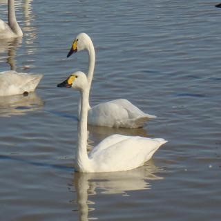 2羽の白鳥