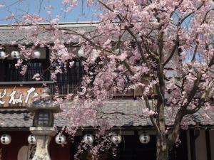 たねやさんの桜