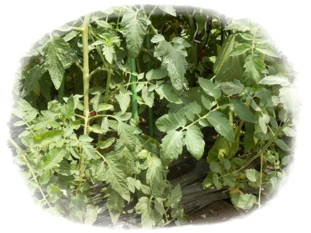 脇芽のトマト2