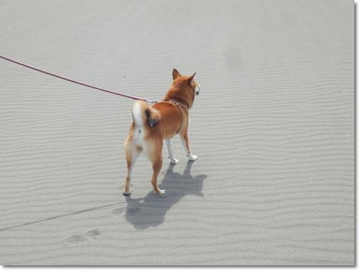 砂浜のさくら