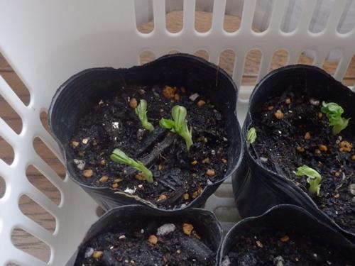 スナップ豌豆の発芽