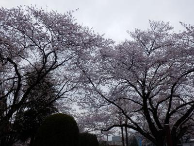 駅前公園の桜